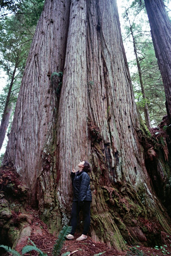 Largest cedar tree in North America, Washington Coast