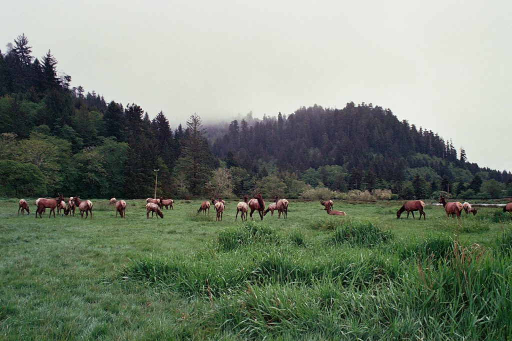 Caribou grazing in california